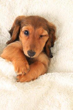 Dachshund puppy winking