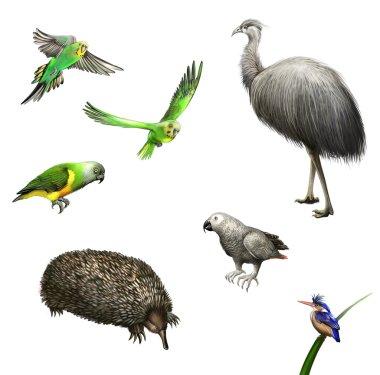 Ostrich Emu, budgies,Grey Parrot, green Parrot, echidna. Australian birds and animal.
