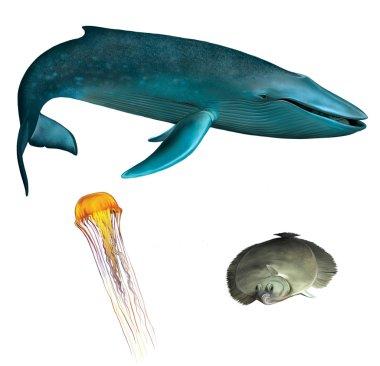 Blue whale. Orange medusa and flounder fish