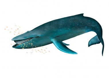Young Blue whale
