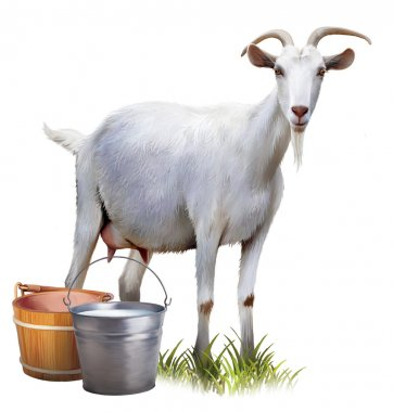 White goat with buckets full of milk.