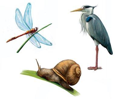 Grey Heron, dragon fly, and snail
