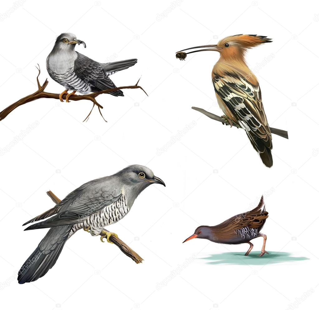 Cuckoo on a tree, Hoopoe (Upupa epops) and water bird Isolated illustration on white background.