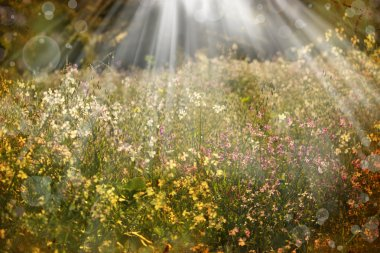 Vintage nature background. Flowers on a meadow