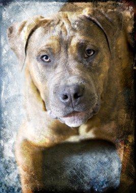 Portrait of Puppy mastiff. A friendly looking Pit Bull dog