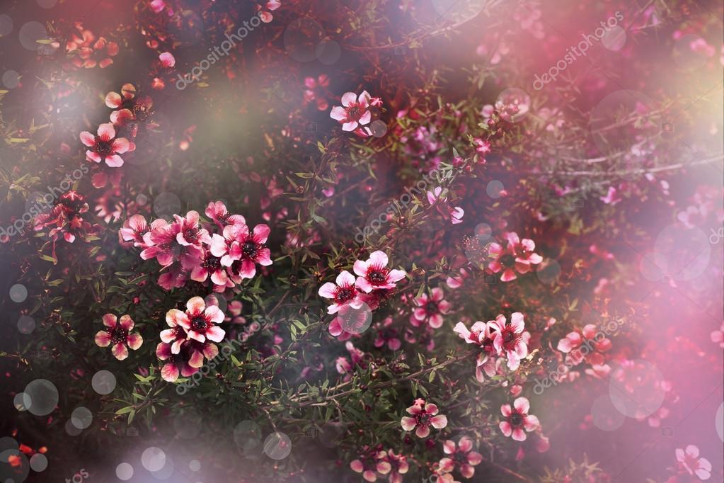 Cerisier japonais sakura arbre fleur photographie yuliaavgust 24456705 - Arbre japonais rose ...