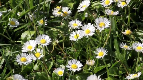 Daisy flowers on wind. Sunshine. Spring background