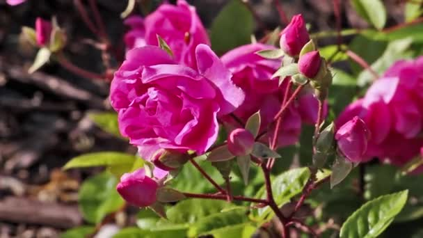 Purple Rose Flowers and Buds on background of blue water. Pink Flowers in the Garden on a wind