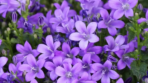 Purple bell flowers on a wind, Beautiful spring background with campanula bouquet.