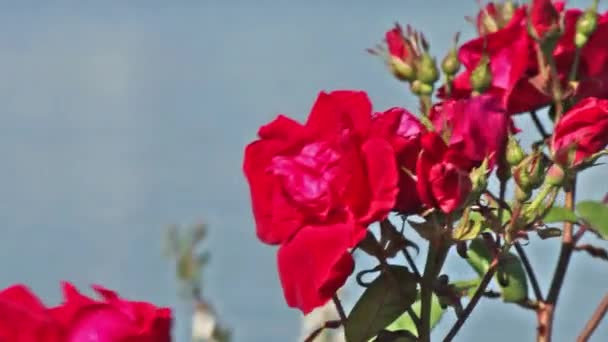 Red Rose Flowers and Buds on background of blue water. Pink Flowers in the Garden on a wind