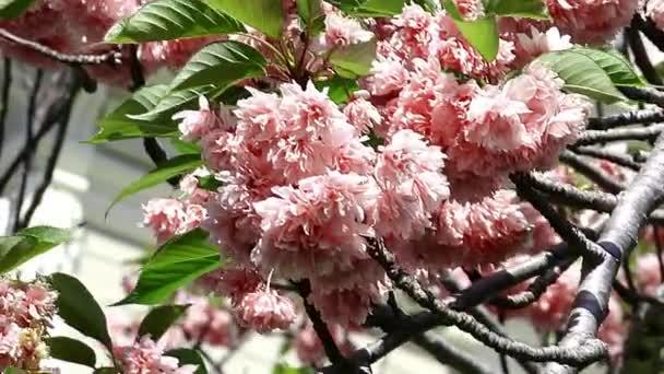 Sakura. třešňový květ větev s krásnou pastelově růžové květy na vítr