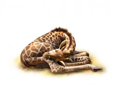 Sleeping giraffe