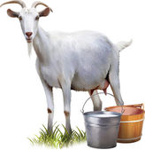Photo White goat with buckets full of milk