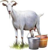 Fotografie bílá koza s vědry mléka