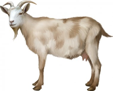Spotted female adult Goat