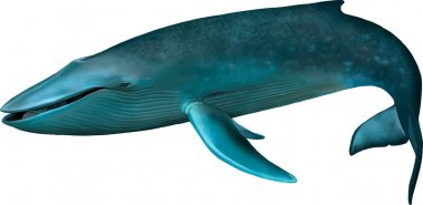 Young Blue whale.