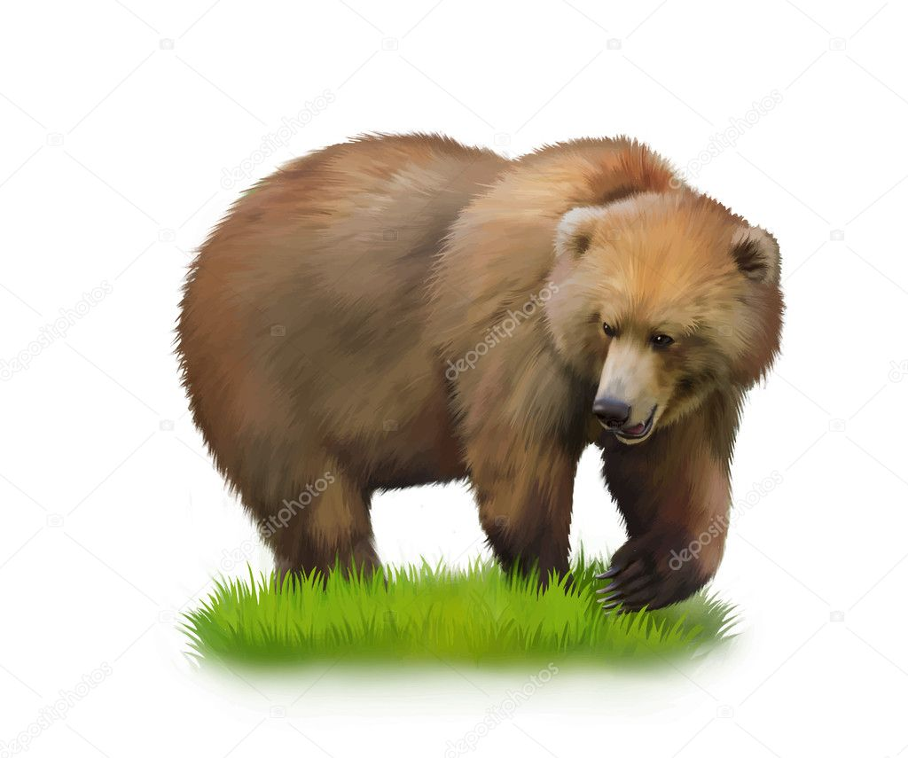 Walking adult bear on a grass.