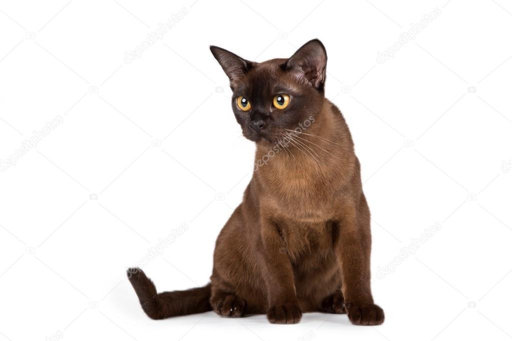 Burmese cat on white background