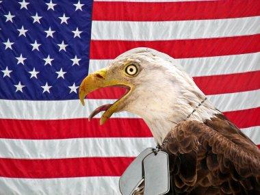Bald eagle wearing dog tags