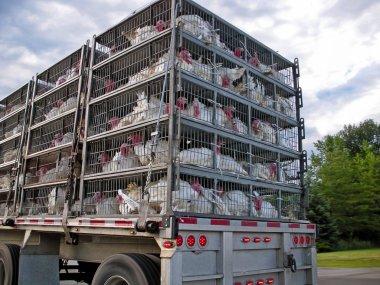 Live turkeys on truck