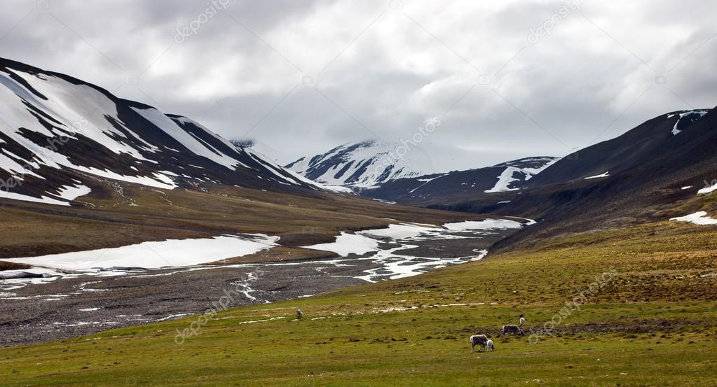 Reindeers in Tundra in the Svalbard Archipelago in the Arctic.