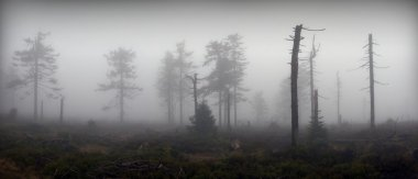 Panoramic View of Mystical Silhouettes of Trees in Foggy Forest