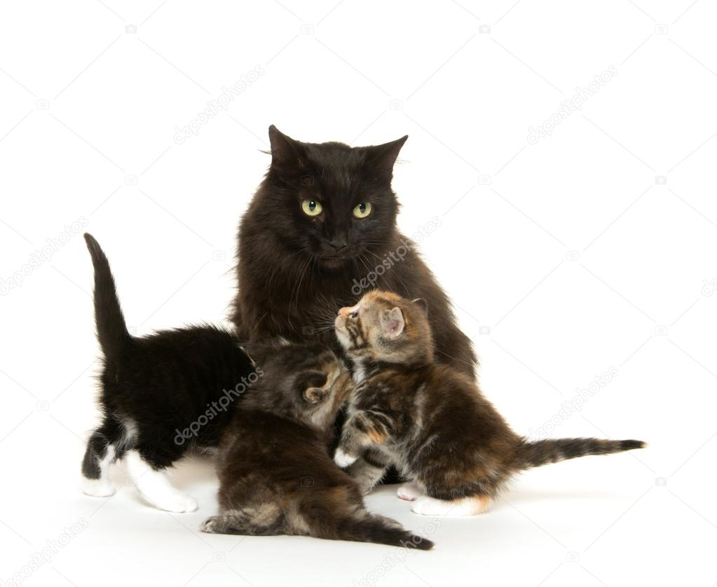 Black cat nursing kittens — Stock © EEI Tony