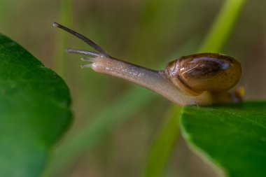 Snail crossing from leaf to leaf