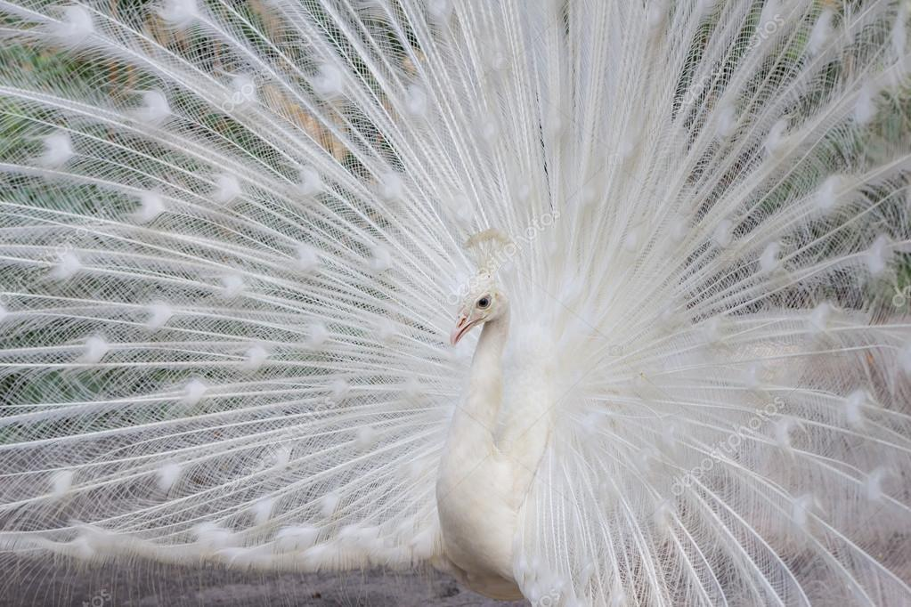 White peacock with feathers side view