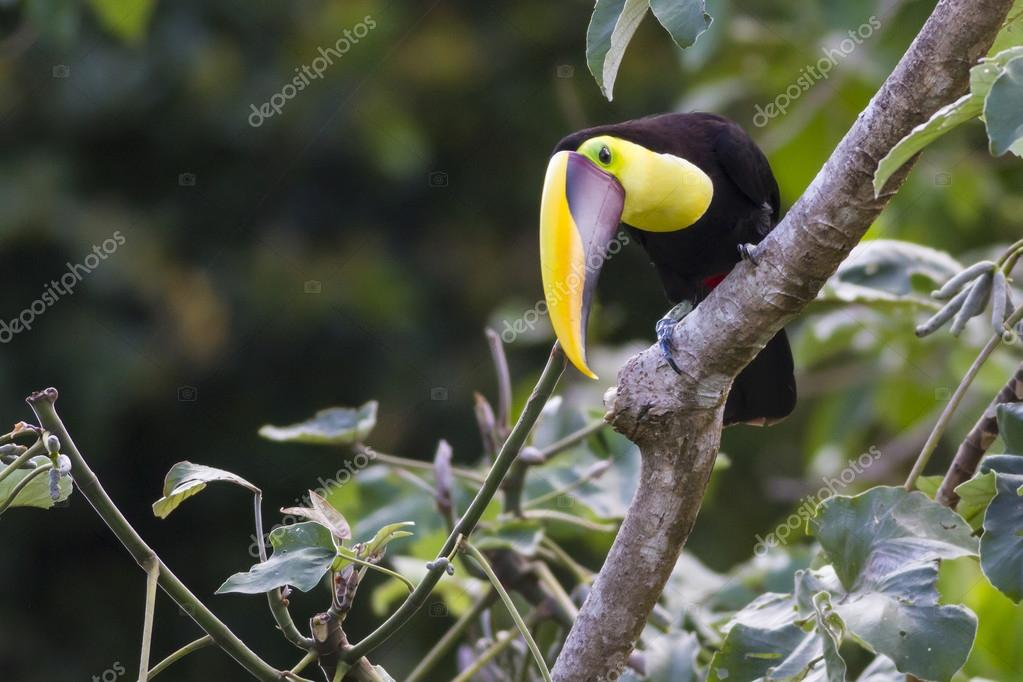 Chestnut mandibled Toucan, Or Swainsons Toucan, ramphastos Ambiguus Swainsonii