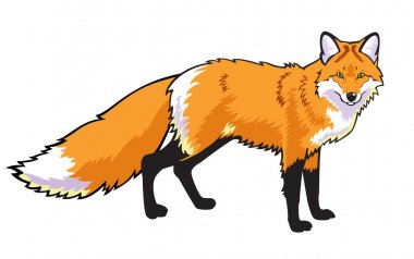 Standing red fox on white