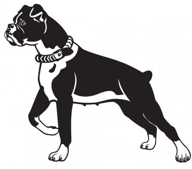 Boxer dog black and white