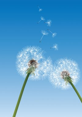 Two dandelions on blue background with flying seeds