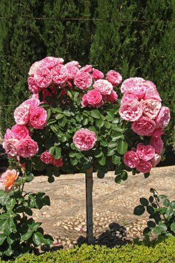 Beautiful pink roses in garden