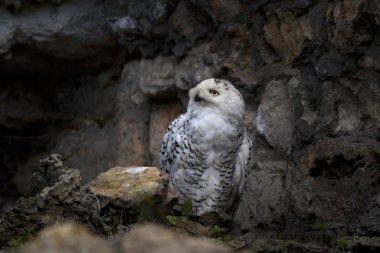 Gaze of a Snowy owl