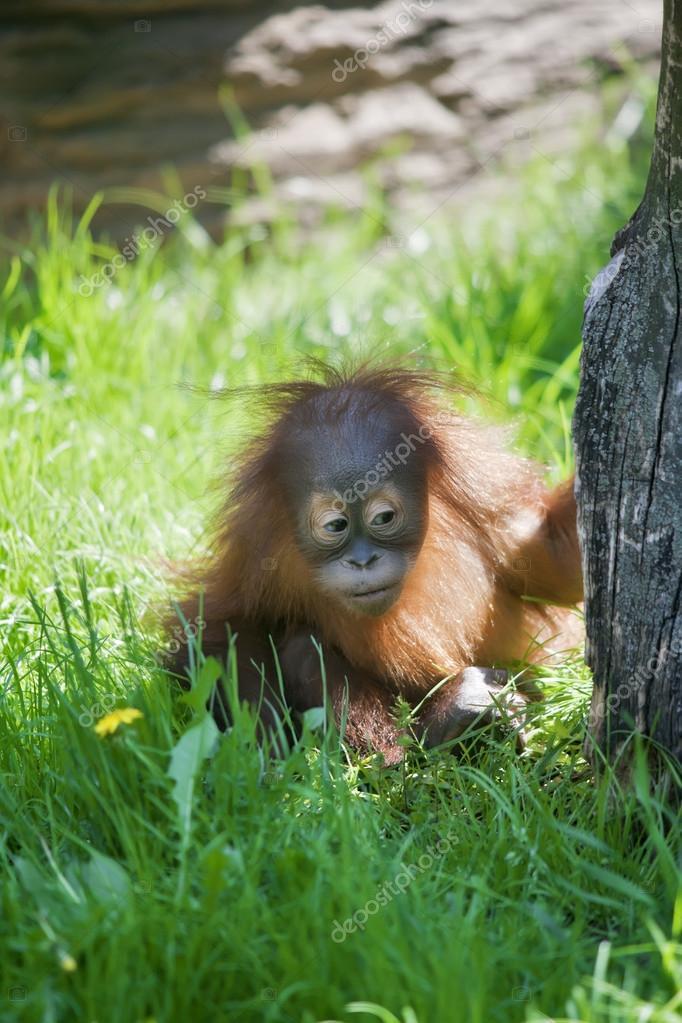 Child curiosity. Orangutan baby investigates the world.
