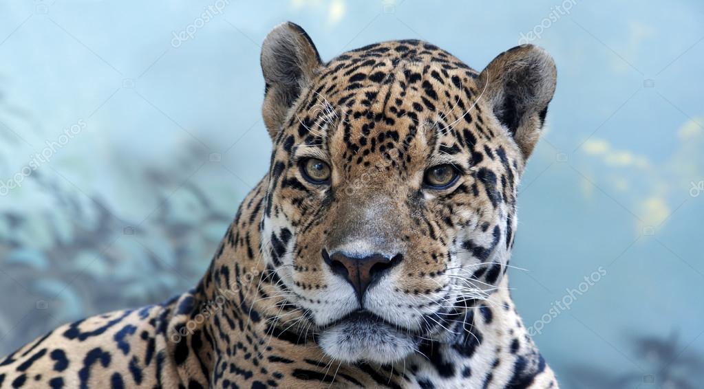 Face portrait of a cougar