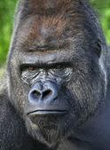 Photo Menacing look of a silverback, gorilla adult male.