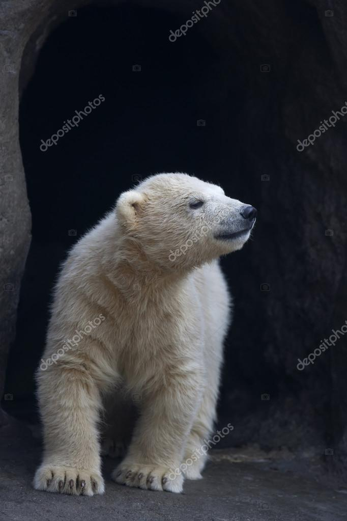 A first meeting with the world. A polar beear baby near the enter of his family lair.