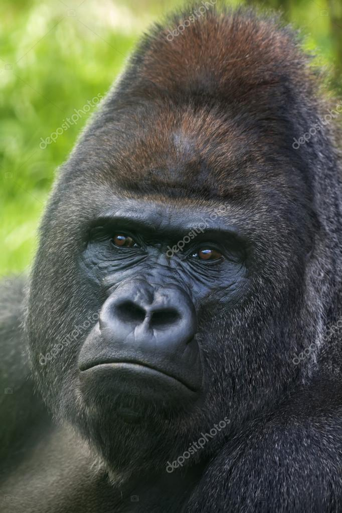 Portrait of a silverback on green background. Gorrila adult male. The head of a gorilla femily.