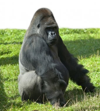 A gorilla male, severe silverback, the chief of a monkey family.
