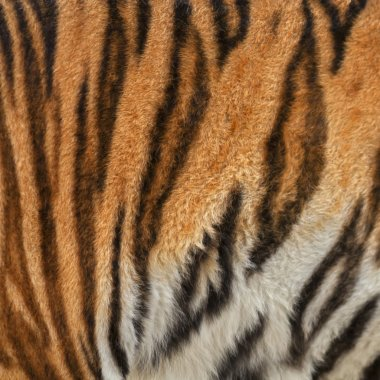 Colorful texture of Siberian tigress with orange, black and white stripes.