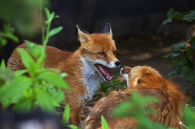 Face portrait of two red foxes with open chaps.