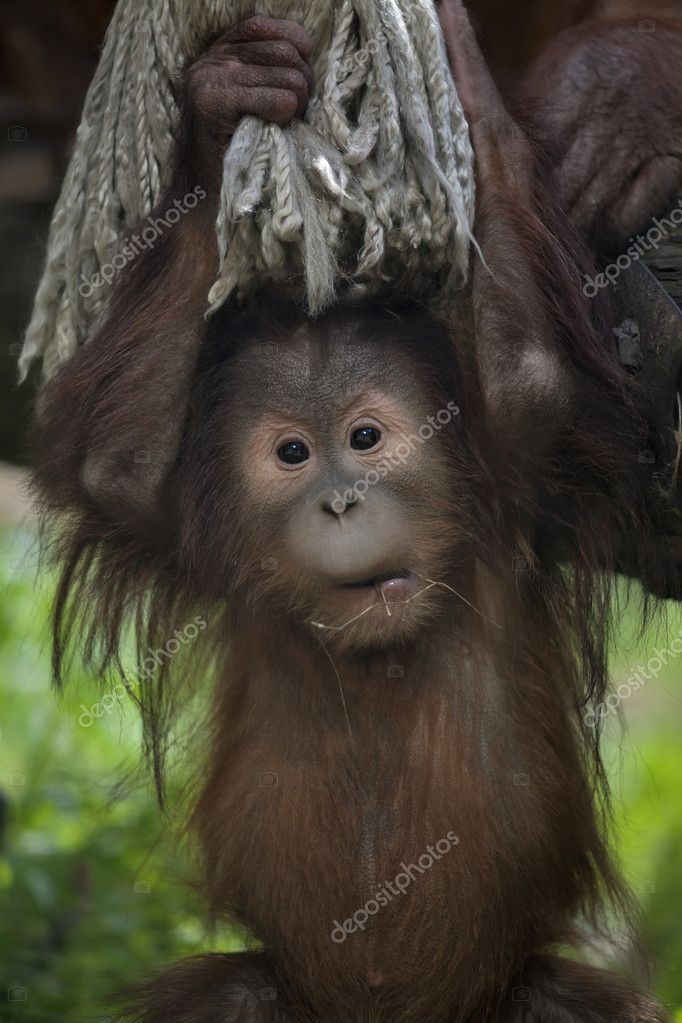 Face portrait of an orangutan baby.