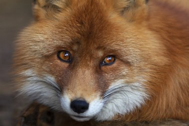 Face portrait of a red fox male, vulpes vulpes.