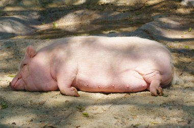 Fat pink sow sleeps soundly