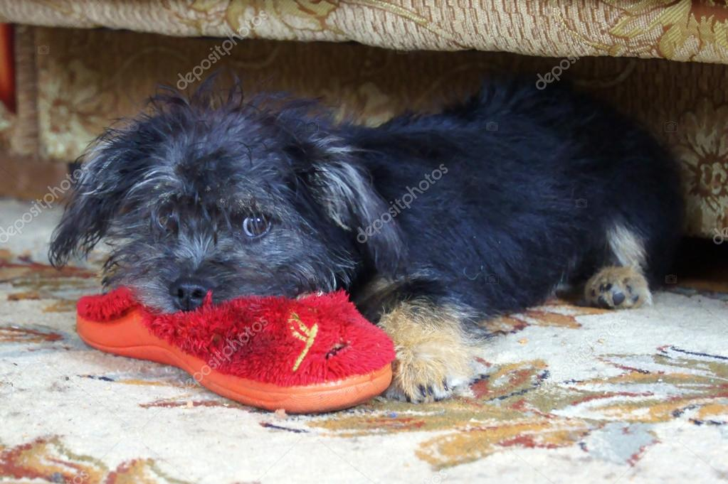 Puppy and slipper