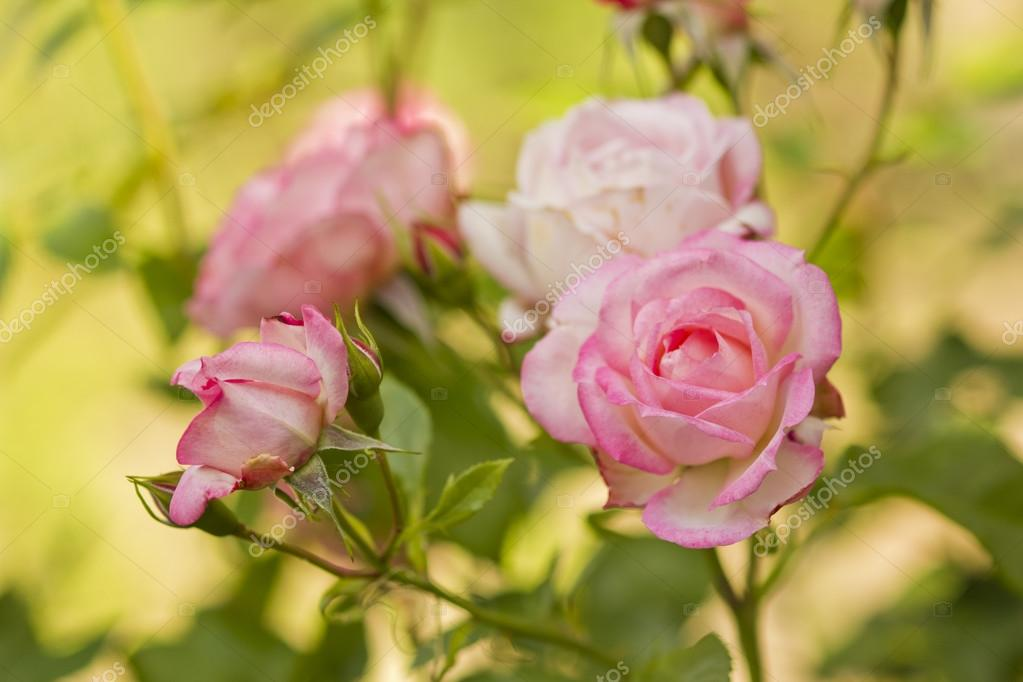 Beautiful branch of roses flowers