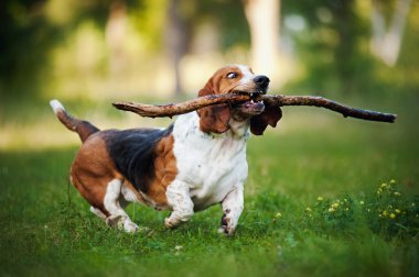 Funny dog Basset hound running with stick