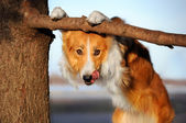 Niedliche lustige Hund steckt ihre Zunge